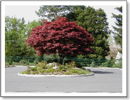 Red Leaved Tree on a Small Park Island